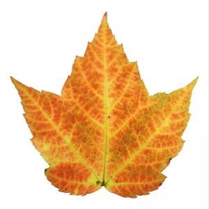 autumn-leaf1
